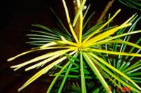 Sciadopitys verticillata 'Marylin Monroe' (syn. 'Zaailing W.L.')
