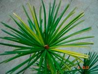 Sciadopitys verticillata Seedling WL