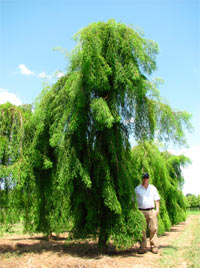 Taxodium distichum 'Falling Water'
