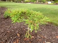 Taxodium distichum 'Gee Wez'