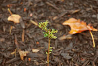 Taxodium distichum 'Little Leaf'