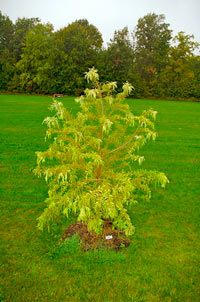 Taxodium distichum 'Peve Yellow'