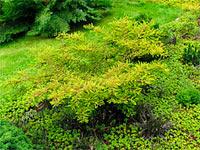 Taxodium distichum 'Secrest'