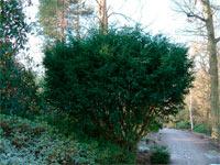 Taxus baccata 'Adpressa'