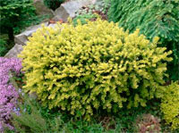 Taxus baccata 'Adpressa Aurea'