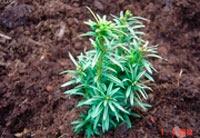 Taxus baccata 'Aldenham Gold'