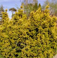 Taxus baccata 'Aurita'