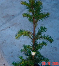 Taxus baccata 'Beteramsi'