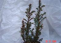 Taxus baccata 'Bultinck Globe'