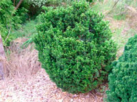 Taxus baccata 'Bultinck Mini'