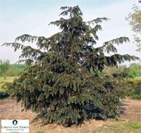Taxus baccata 'Dovastoniana'