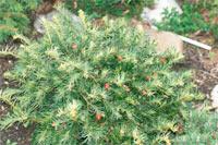 Taxus baccata 'Dwarf White'