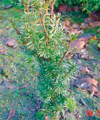 Taxus baccata 'Feminale'