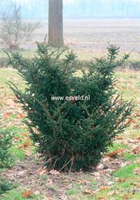 Taxus baccata 'Fowle's Dwarf'
