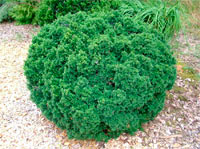 Taxus baccata 'Green Diamond'