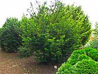 Taxus baccata 'Hessei'