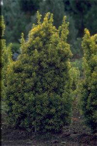Taxus baccata 'Judith'
