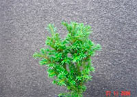 Taxus baccata 'Klitzeklein'