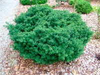 Taxus baccata 'Little Gem'