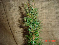 Taxus baccata 'Oberhof'