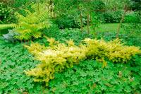 Taxus baccata 'Repandens Aurea'