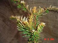 Taxus baccata 'Silver Queen'
