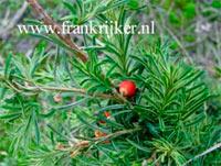 Taxus baccata 'Thomsen'