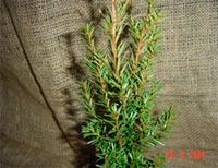 Taxus baccata 'Vogelhorst'
