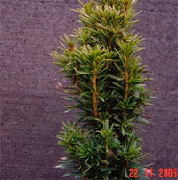 Taxus baccata 'White Iccile'