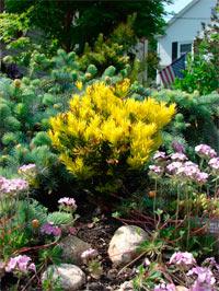 Taxus baccatta 'Rezek's Gold'