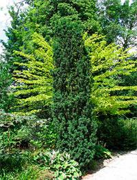 Taxus cuspidata 'Stricta'