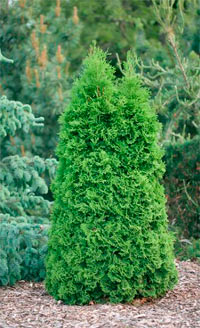 Thuja occidentalis 'Analyn Broom'
