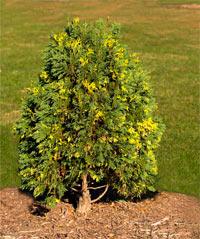 Thuja occidentalis 'Argentea'