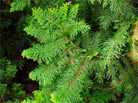 Thuja occidentalis 'Aspleniifolia'