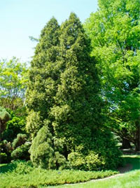 Thuja occidentalis 'Aureospicata'