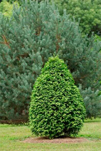 Thuja occidentalis 'Aureovariegata'