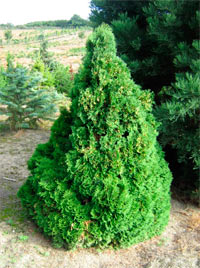 Thuja occidentalis 'Bastya'