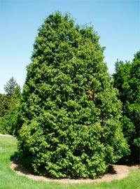 Thuja occidentalis Beaufort