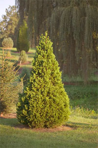 Thuja occidentalis 'Bodmeri'