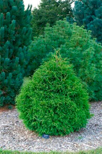 Thuja occidentalis 'Calvary Nr2'
