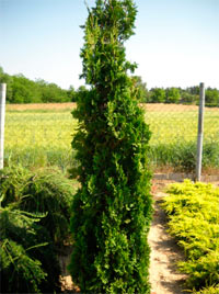 Thuja occidentalis 'Ceruza'