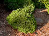 Thuja occidentalis 'Danica'