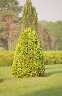 Thuja occidentalis 'Dorset Yellow'