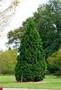 Thuja occidentalis 'Douglasii Pyramidalis'
