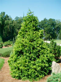 Thuja occidentalis 'Durant'