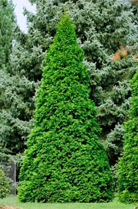 Thuja occidentalis 'Elegantissima'