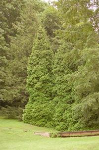 Thuja occidentalis 'Elegantissima'