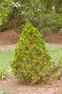 Thuja occidentalis 'Emerald Variegated'