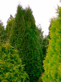 Thuja occidentalis 'Eurostar'