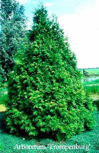 Thuja occidentalis 'Frieslandia'
